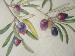 Watercolour Painting of olives on a branch on vellum by Shevaun Doherty