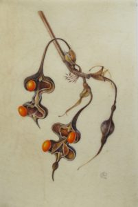 three Erythrina lysistemon seedpods painting on natural calf vellum by Shevaun Doherty