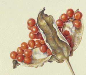 watercolour painting on goatskin vellum of iris seedhead with orange seeds by Shevaun Doherty