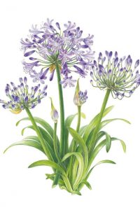 Painting of purple agapanthus flowers on paper with leaves by Shevaun Doherty