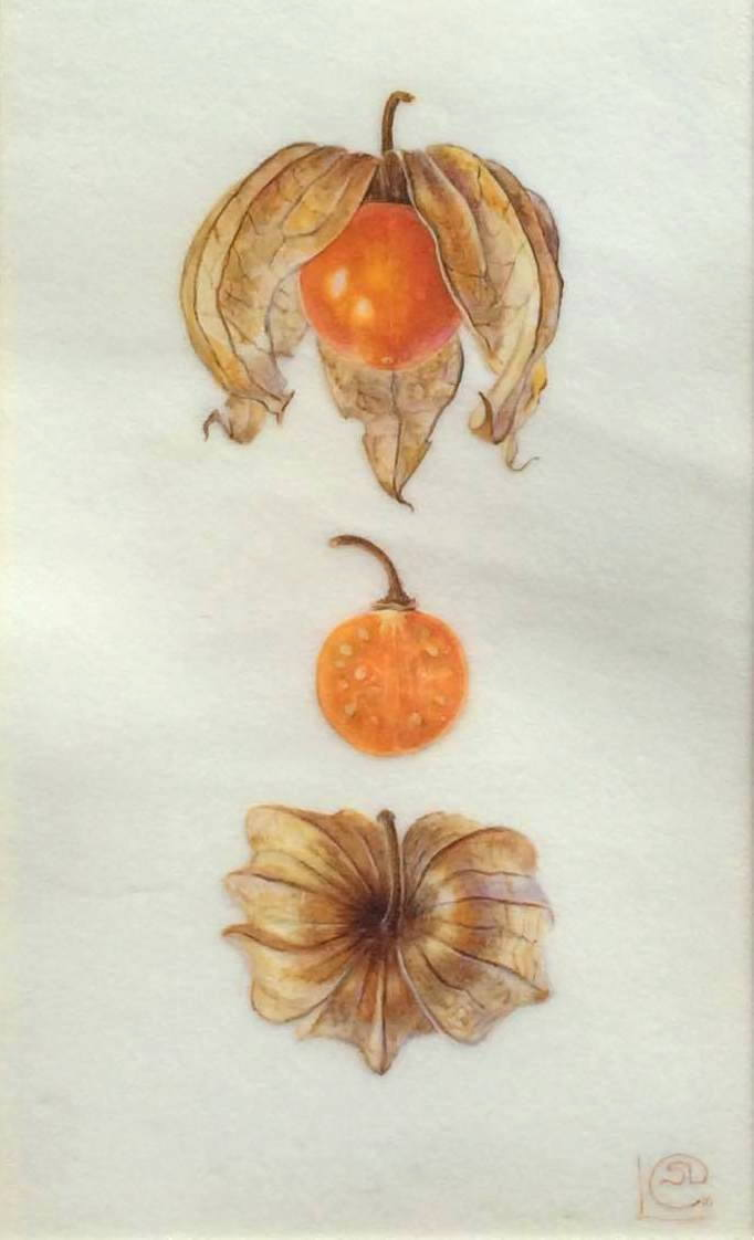 Original watercolour painting on vellum of three orange physallis fruit