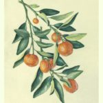 Painting of calmondin orange branch on vellum by Shevaun Doherty