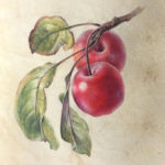 Watercolour painting on vellum of two red crabapples with three leaves