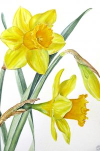 painting of 3 yellow daffodils by Shevaun Doherty
