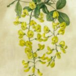 watercolour painting of yellow laburnum flowers on vellum by Shevaun Doherty