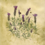 Painting of lavender flowers with bumblebees on natural vellum by Shevaun Doherty