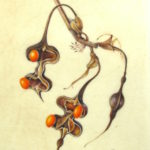 watercolour painting of Coral Tree seeds on vellum by Shevaun Doherty