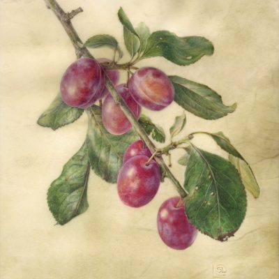 watercolour painting of purple Victoria plums on vellum by Shevaun Doherty