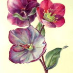 painting of pink and purple Hellebore flowers on kelmscott vellum by Shevaun Doherty