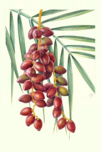 Red dates on branch and palm tree watercolour painting on paper by Shevaun Doherty