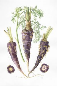 watercolour painting of purple carrots from Egypt
