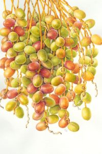 watercolour painting of yellow, red and green date fruits ripening on branch by Shevaun Doherty