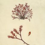 watercolour painting of red seaweed and enlargements on vellum by Shevaun Doherty