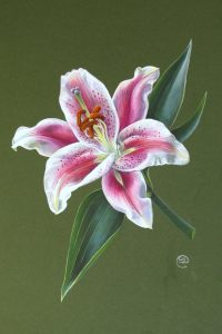 painting of pink star gazer lily on dark gree background by Shevaun Doherty