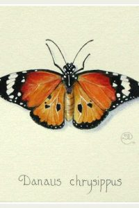 Painting of an orange back and white butterfly, plain tiger, african monarch butterfly