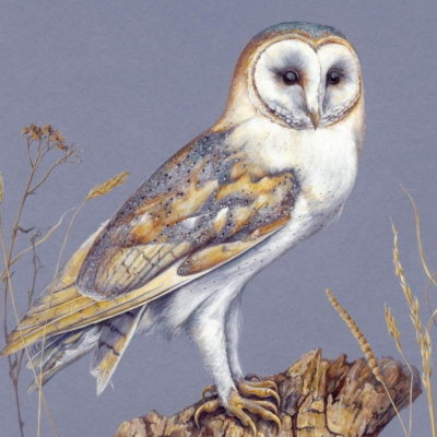 watercolour and gouache painting of a female barn owl with grasses against blue background