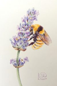 Painting of a rare yellow bumblebee on purple lavender against cream background