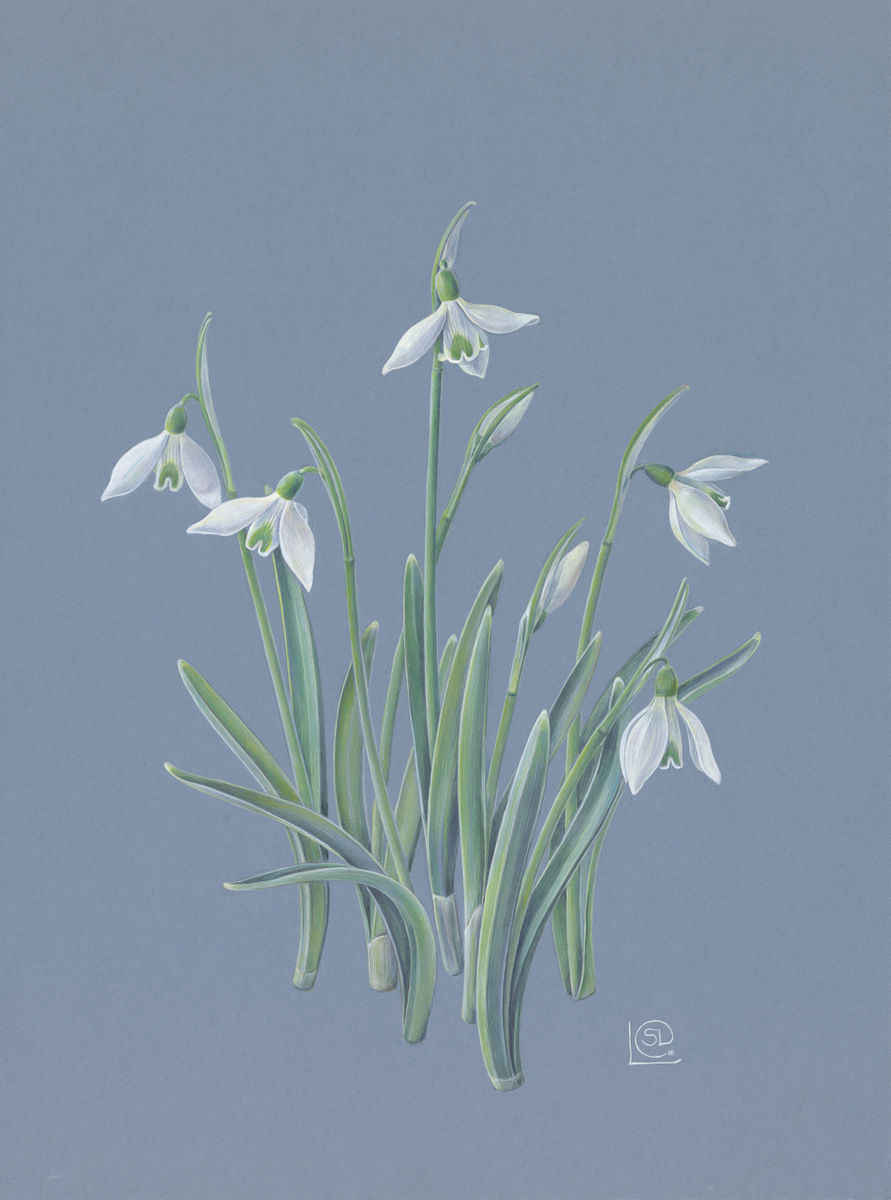 white snowdrops with green heart markings on bue background