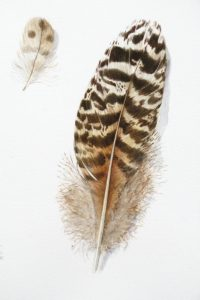 Watercolour of brown and black feathers