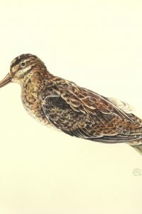 Watercolour painting of a dead snipe bird