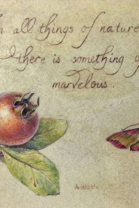 Watercolour painting of Medlar fruit and pink elephant hawkmoth with calligraphic quote on deerskin vellum