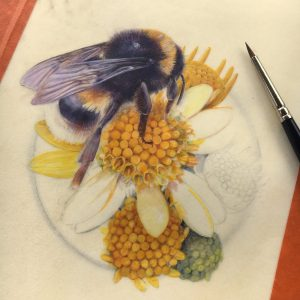 watercolour painting in progress of the white-tailed bumblebee on yellow ragwort flowers