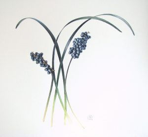 Ophiopogon planiscapus 'Nigrescens' watercolour painting of black mondo grass and fruit by Shevaun Doherty
