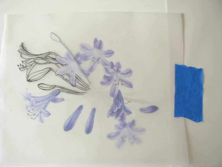 using tracing paper to add to a painting of agapanthus