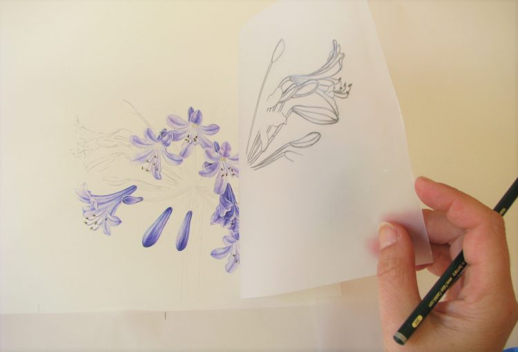 Artist using tracing paper to transfer drawing of blue agapanthus flower onto watercolour paper