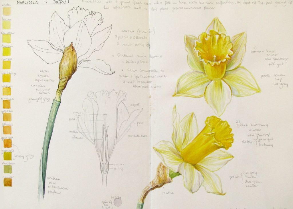 sketchbook page of daffodil studies and colour charts