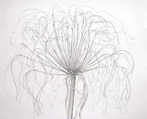 Graphite drawing of a papyrus plant