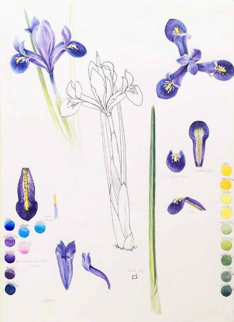 Watercolour Study page of Iris reticulata